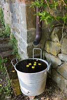 Yellow flower heads floating in water bucket, water conservation