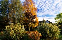 Eastgrove Cottage garden Worcestershire mini arboretum Birches Acer Crimson King Cornus alba Elegantissima and Spathei