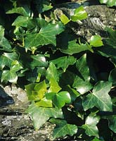 ivy Hedera azorica growing in dry stone wall