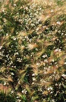 barley Squirrel tail grass Hordeum jubatum with Gaura lindheimeri