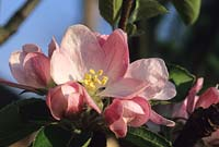 Apple blossom Brownlees Russet