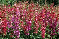 Penstemon Colgrave s New Hybrids Mixed