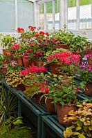 cool greenhouse summer display staging shelves Pelargoniums Fuchsia Fascination shrub tender summer flower container pot pink