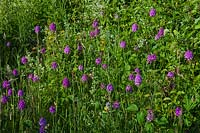 Noar Hill Selborne Hampshire Gilbert White nature reserve SSSI garden wild flowers orchids pyramidal Anacamptis pyramidalisHedge