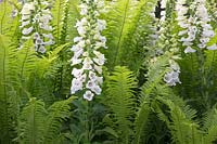 Digitalis purpurea Alba with Ferns at Chelsea Flower Show 2019