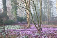 Flowering Snowdrops and Cyclamen coum growing under trees in The Arboretum, Highgrove, February, 2019.