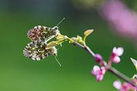 An Orange Tip Butterfly on Cercis siliquastrum, April