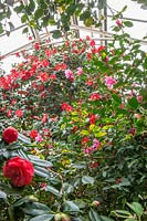 Camellias flowering in the glasshouse, C. japonica 'Jupiter' has red flowers with yellow centres, 