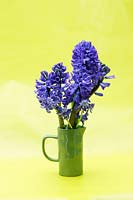 Hyacinthus orientalis 'Delft Blue', Muscari - Hyacinth in green handmade jug, yellow background