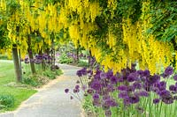 A pathway bordered by flowering Laburnum x watereri 'Vossii'', underplanted with Allium.