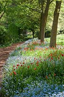 Avenue of oak trees underplanted Myosotis sylvatica and orange and red Tulipa.