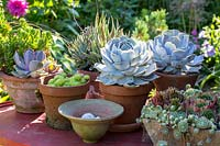 Close up of succulents in clay pots.