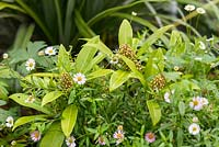 Mixed planting with Skimmia and Erigeron karvinskianus.
