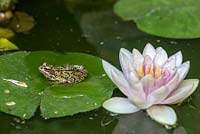 Common frog - Rana temporaria, on water lily leaf.