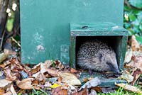 Young hedgehog coming out of his shelter.
