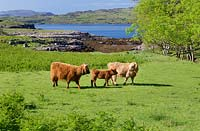 Highland cattle by Loch Tuath,  Isle of Mull, Argyll, Scotland, UK