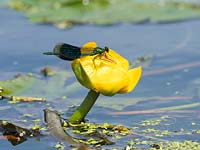Male Calopteryx splendens - Banded demoiselle on  Nuphar lutea - yellow water lily.