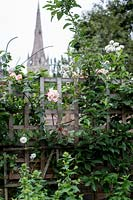 Trellis on top of boundary wall supporting Rosa 'Creme de la Creme', view of church steeple beyond