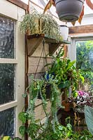 Shelves of succulents and hanging plants in conservatory.