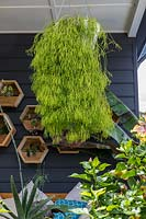 An established Rhipsalis trails from hanging basket.