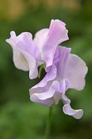 Lathyrus odoratus 'Charlies angels' - Sweet pea