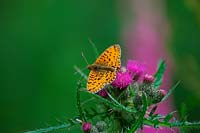 Boloria selene - Small pearl-bordered fritillary butterfly - feeding on Cirsium palustre - marsh thistle.