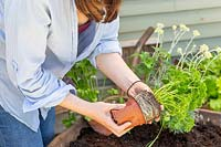 Close up of woman planting parsley into a wheelbarrow.
