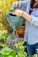 Woman watering wheelbarrow herb planter with metal watering can.