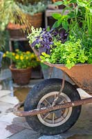 Wheelbarrow planted with a variety of herbs in yard setting.