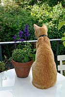 Ginger cat sitting on cream bistro table on urban roof terrace, London Borough of Islington, UK.