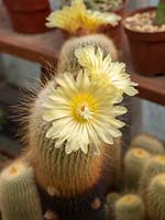 Notocactus leninghausii in flower