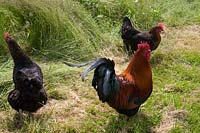 Free range chickens at Barnsley House, Cirencester, UK.