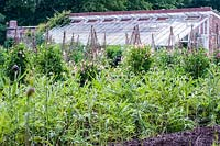 Globe artichokes and wigwams supporting sweet peas with greenhouse, Forde Abbey, Dorset, UK.