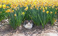 Cat relaxing in the field of Narcissus. De Tulperij: Dutch nursery of Daan and Anja Jansze at Voorhout, Holland.
