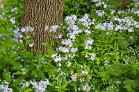 Deciduous tree underplanted with Phlox divaricata 'Blue phlox'