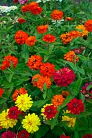 Zinnia x hybrida 'Profusion Double Mixed' - Hot Cherry, Fire and Yellow