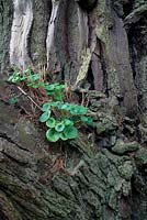 Umbilicus rupestris - Pennywort - growing on Pinus radiata - Monterey pine.