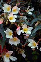 Begonia Summerwings Ivory