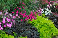 Summer flowering border including New Guinea Impatiens and Ornamental Sweet Potato vine Ipomoea Sweet Heart 'Light Green' and Ipomoea Sweet Caroline 'Purple'.