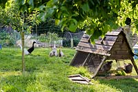 Indian runner ducks in an orchard