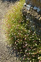 Erigeron karvinskianus seeded at the base of a wall into gravel