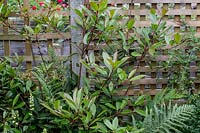 Photinia 'Red robin' with trellis fencing