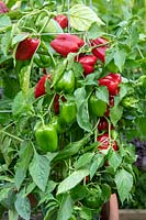 Capsicum annuum var. annuum 'Popti' - sweet pepper - bearing ripe and unripe fruits