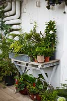 Display of houseplants including ferns arranged on wooden table against white wall