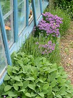 Herbs, sage, lavender and chives outside a wooden greenhouse.