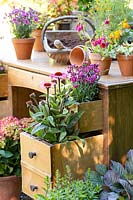 Echinacea - Coneflowers and Dianthus - Pinks planted in drawers of an old wooden desk
