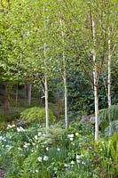 Himalayan birches together with tulips and Narcissi in a white border at Ty Hwnt Yr Afon, Conwy, North Wales - photographed in May. Other planting includes an Acer palmatum, ferns and a tree fern.