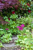 Candelabra Primulas at Ty Hwnt Yr Afon, Conwy, North Wales - photographed in May. Other planting includes an Acer and Camellia.