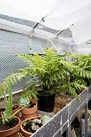 Ferns in greenhouse