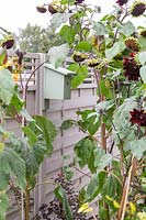 Bird box mounted on fence surrounded by Helianthus - Sunflower